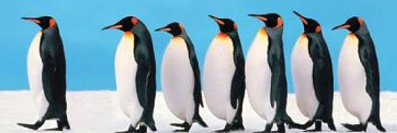 This Penguin is not a natural leader - he chose to b