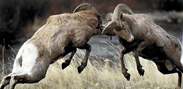 Rams Butting Heads - Confronting Your Leader