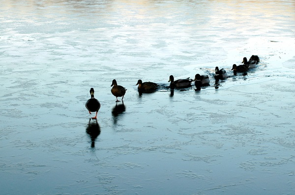 How to be a leader - Ducks