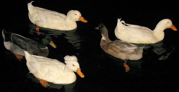 Reluctant Leader Duck